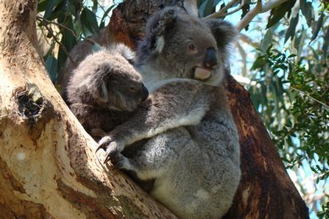 Koala and joey in tree
